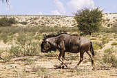 Blue wildebeest (Connochaetes taurinus) walking in dry land in Kgalagadi transfrontier park, South Africa