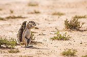 Cape ground squirrel (Xerus inauris) eating seed in dry land in Kgalagadi transfrontier park, South Africa