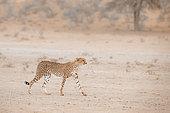 Cheetah (Acinonyx jubatus) walking in sand storm in Kgalagadi transfrontier park, South Africa