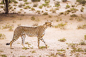 Cheetah walking in arid land in Kgalagadi transfrontier park, South Africa ; Specie Acinonyx jubatus family of Felidae