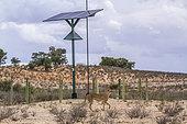 Cheetah (Acinonyx jubatus) in front of solar panel in Kgalagadi transfrontier park, South Africa