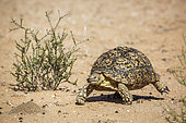 Leopard tortoise (Stigmochelys pardalis) walking front view in dry land in Kgalagadi transfrontier park, South Africa