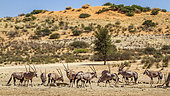 South African Oryx (Oryx gazella) group in desert scenery in Kgalagadi transfrontier park, South Africa