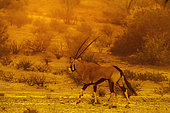 South African Oryx (Oryx gazella) walking at sunset in Kgalagadi transfrontier park, South Africa