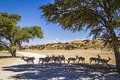 Springbok (Antidorcas marsupialis) herd in safari road in Kgalagari transfrontier park, South Africa