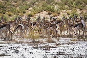Springbok (Antidorcas marsupialis) herd under rain in Kgalagari transfrontier park, South Africa