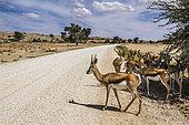 Springbok (Antidorcas marsupialis) group standing in tree shadow on safari road in Kgalagari transfrontier park, South Africa