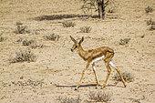 Springbok calf waking in dry land in Kgalagari transfrontier park, South Africa ; specie Antidorcas marsupialis family of Bovidae