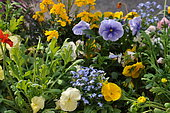 Annual flower bed with dominant pansy (Viola cornuta)