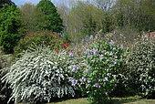 Flowering hedge in spring