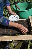 Sowing of climbing plants in slabs, seed preparation