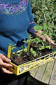 Sowing of climbing plants in slabs, tagged seedling