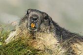 Marmot (Marmota marmota) in the Alps, Portrait, Hohe Tauern National Park, Austria, Europe