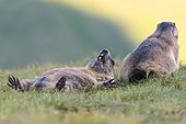 Marmots (Marmota marmota) in the Alps, mating, Hohe Tauern National Park, Austria, Europe