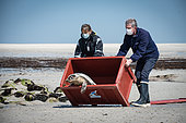 Grey seal (Halichoerus grypus) in a box. Grey seal release in Plouarzel, Finistère, on 29 April 2021. They were cared for at Océanopolis, Brest, by ACMOM (Association Conservation Mammifères et Oiseaux Marins de Bretagne). France