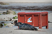Grey seal (Halichoerus grypus) out of a box. Grey seal release in Plouarzel, Finistère, on 29 April 2021. They were cared for at Océanopolis, Brest, by ACMOM (Association Conservation Mammifères et Oiseaux Marins de Bretagne). France