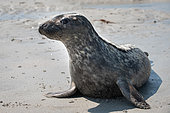 Grey seal (Halichoerus grypus) on sand. Grey seal release in Plouarzel, Finistère, on 29 April 2021. They were cared for at Océanopolis, Brest, by ACMOM (Association Conservation Mammifères et Oiseaux Marins de Bretagne). France