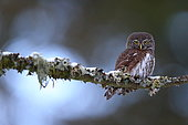 Little Owl (Glaucidium passerinum) on a branch in an old Vosges forest, France.