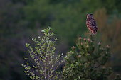 Eagle owl (Bubo bubo) on a pine tree above its nest in a quarry, Saintois, Lorraine, France.