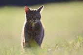 Wildcat (Felis silvestris silvestris) hunting in a meadow, Lorraine, France
