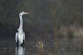 Grey heron (Ardea cinerea) in the rain in a Vosges pond, Grand Est, France.