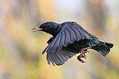 European Starling (Sturnus vulgaris) in flight, Saintois, Lorraine, France.