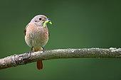 Common Redstart (Phoenicurus phoenicurus)Feeding the chicks, Saintois, Lorraine, France