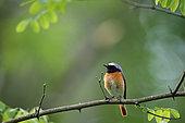 Common Redstart (Phoenicurus phoenicurus) on a branch, Saintois, Lorraine, France