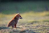 Red fox (Vulpes vulpes) hunting in a freshly mown meadow, Saintois, Lorraine, France