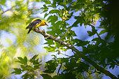 Eurasian Golden Oriole (Oriolus oriolus) male on a branch, Saintois, Lorraine, France.