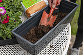 Planting Cape Daisy (Osteospermum sp) and Carnation (Dianthus sp) in a window box in spring