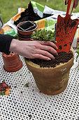 Planting a mini petunia in a pot in spring