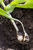Tulip (Tulipa sp) bulbs in the ground