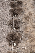 Planting 'Marabel' potatoes in spring, Moselle, France