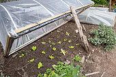 Appia' lettuces under cold frame in spring