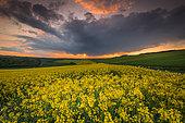Rape field (Brassica napus) in bloom at sunset, Opal Coast, France