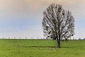 RoeDeer (Capreolus capreolus) herd in a meadow in spring, Moselle, France