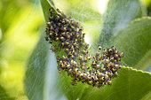 Cross orbweaver (Araneus diadematus)