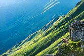Alpine Chamois (Rupicapra rupicapra) on cliff in summer, Slovakia