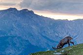 Alpine Ibex (Capra ibex) head down at sunrise in summer, Slovakia