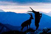 Alpine Ibex (Capra ibex) fighting at sunrise in summer, Slovakia