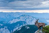 Alpine Ibex (Capra ibex) on cliff at sunrise in summer, Slovakia