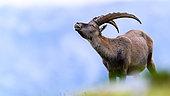 Alpine Ibex (Capra ibex) in the grass in summer, Slovakia