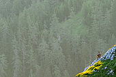 Alpine Ibex (Capra ibex) on cliff at sunirse in summer, Slovakia