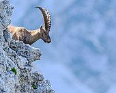 Alpine Ibex (Capra ibex) on cliff in summer, Slovakia