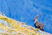 Alpine Ibex (Capra ibex) in the grass in autumn, Slovakia