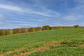 hedges on the edge of the field, refuge for small fauna, arable crops, agricultural lands, Senlis region, Department of Oise, France