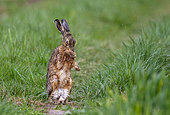 European hare (Lepus europaeus), at the time of reproduction, in the fields, arable land, Senlis region, Department of Oise, France