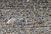 European hare (Lepus europaeus), at the time of reproduction, at the gite (nest in a depression on the surface of the ground), in a plowed field, arable land, Senlis region, Department of Oise, France