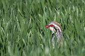 Red Partridge (Alectoris rufa), male at the time of reproduction, in a wheat field, arable land, Senlis region, Department of Oise, France